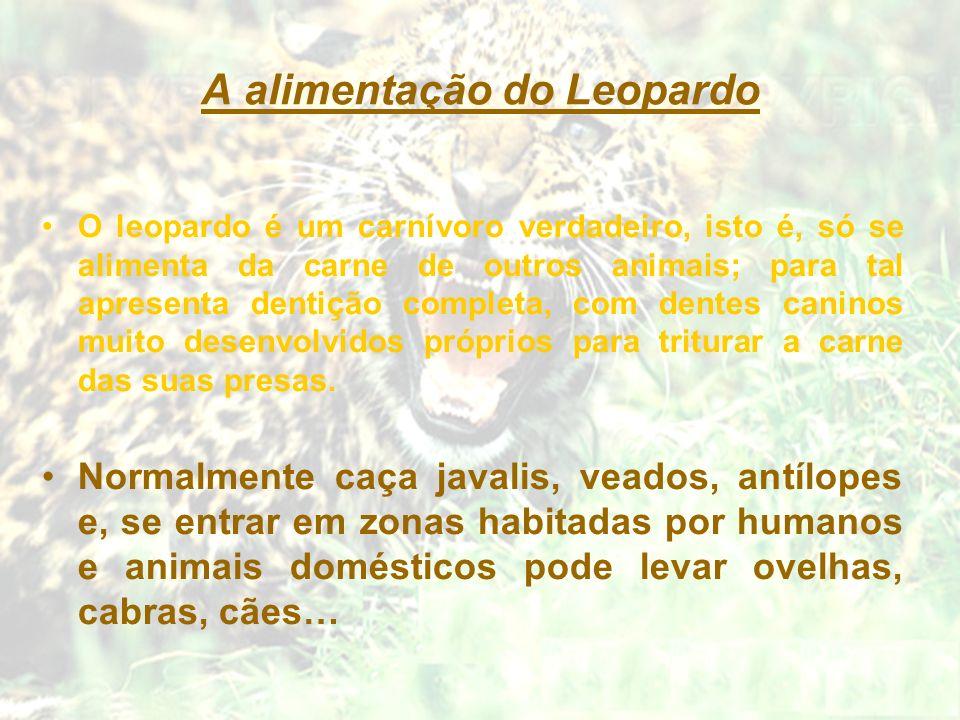 A alimentação do Leopardo O leopardo é um carnívoro verdadeiro, isto é, só se alimenta da carne de outros animais; para tal apresenta dentição complet