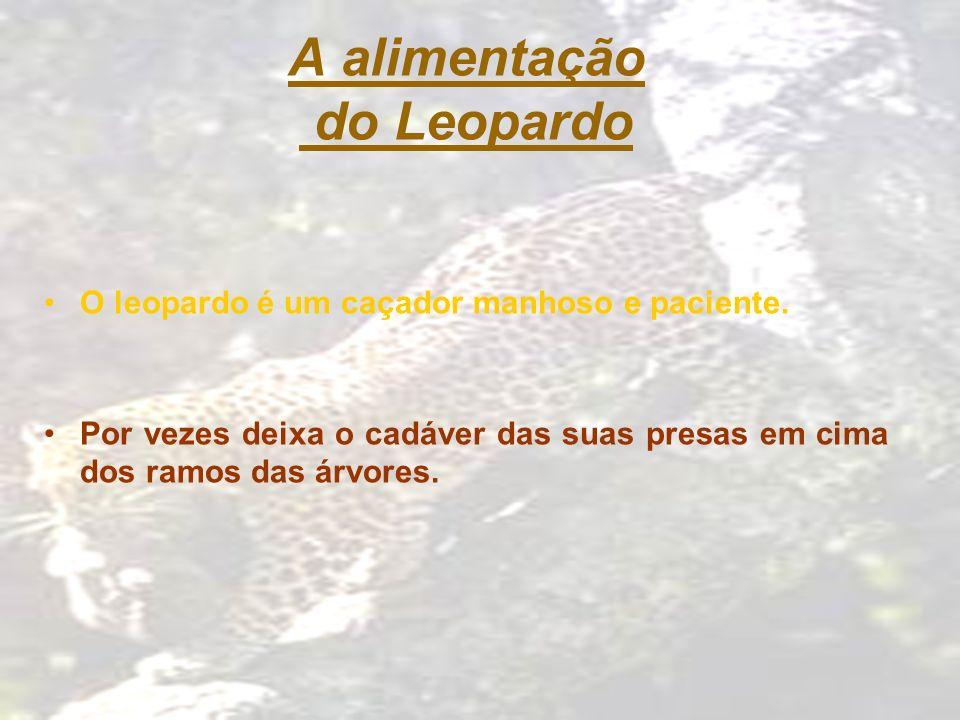 A alimentação do Leopardo O leopardo é um caçador manhoso e paciente. Por vezes deixa o cadáver das suas presas em cima dos ramos das árvores.