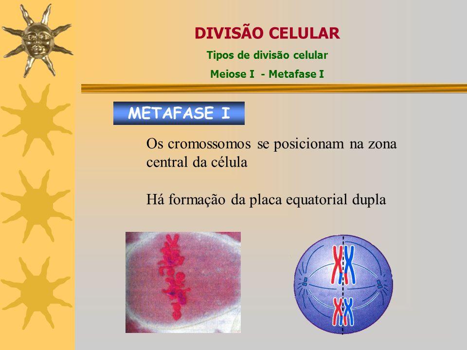 METAFASE I DIVISÃO CELULAR Tipos de divisão celular Meiose I - Metafase I Os cromossomos se posicionam na zona central da célula Há formação da placa equatorial dupla