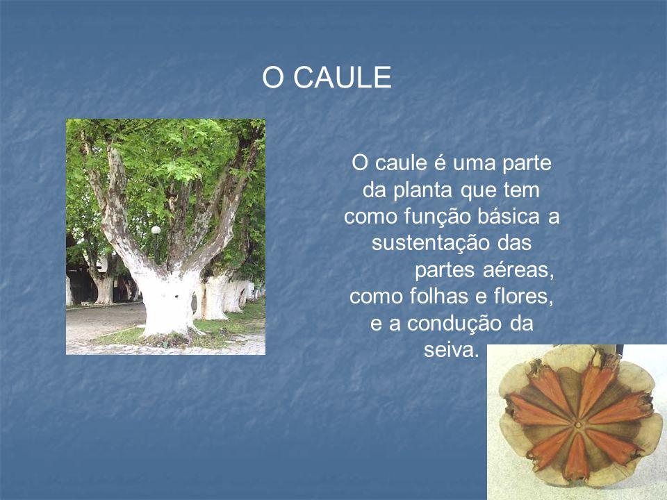 O caule é uma parte da planta que tem como função básica a sustentação das partes aéreas, como folhas e flores, e a condução da seiva. O CAULE