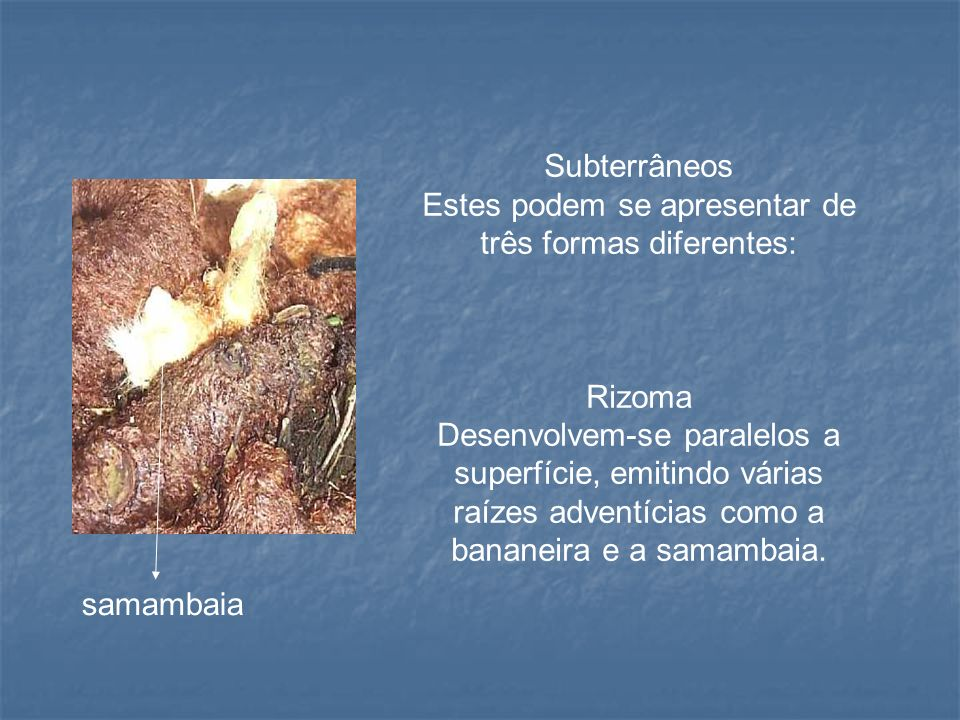 Subterrâneos Estes podem se apresentar de três formas diferentes: Rizoma Desenvolvem-se paralelos a superfície, emitindo várias raízes adventícias com