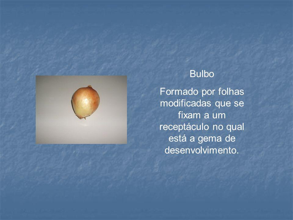 Bulbo Formado por folhas modificadas que se fixam a um receptáculo no qual está a gema de desenvolvimento.