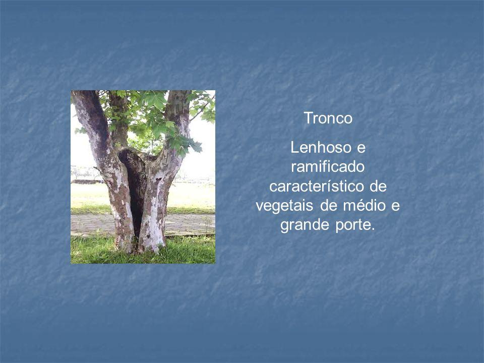 Tronco Lenhoso e ramificado característico de vegetais de médio e grande porte.