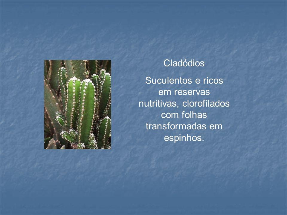 Cladódios Suculentos e ricos em reservas nutritivas, clorofilados com folhas transformadas em espinhos.