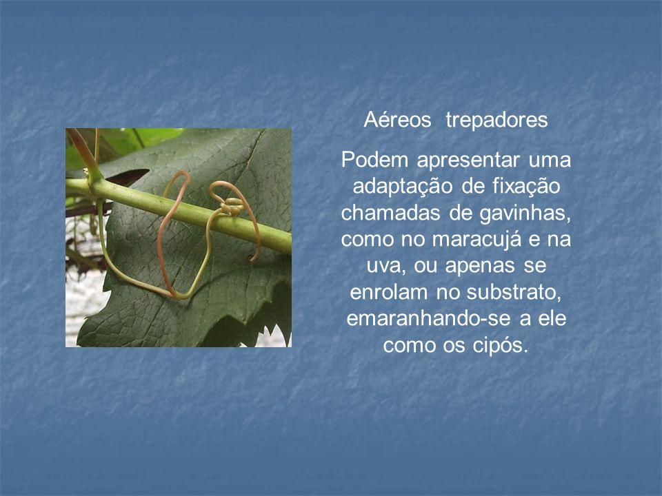 Aéreos trepadores Podem apresentar uma adaptação de fixação chamadas de gavinhas, como no maracujá e na uva, ou apenas se enrolam no substrato, emaran