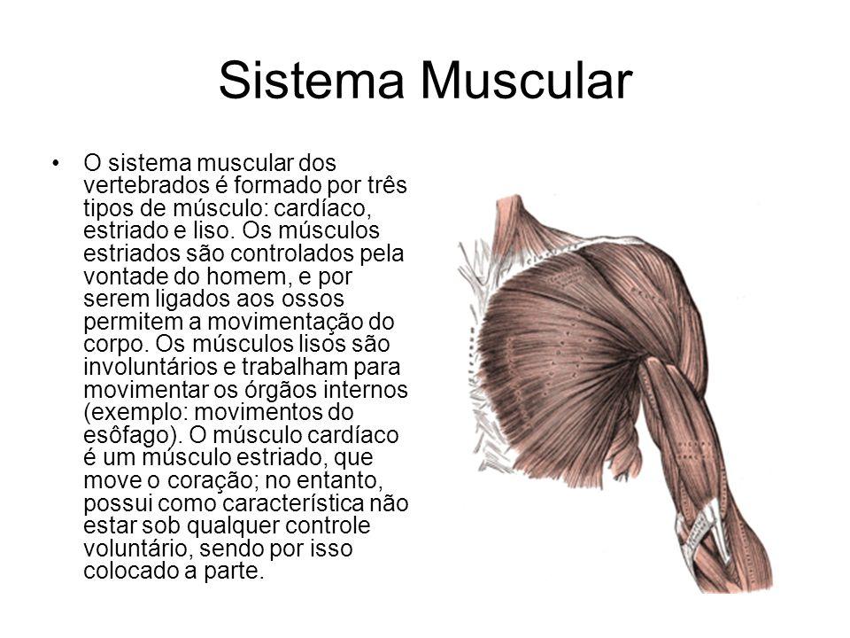 Sistema Muscular O sistema muscular dos vertebrados é formado por três tipos de músculo: cardíaco, estriado e liso. Os músculos estriados são controla
