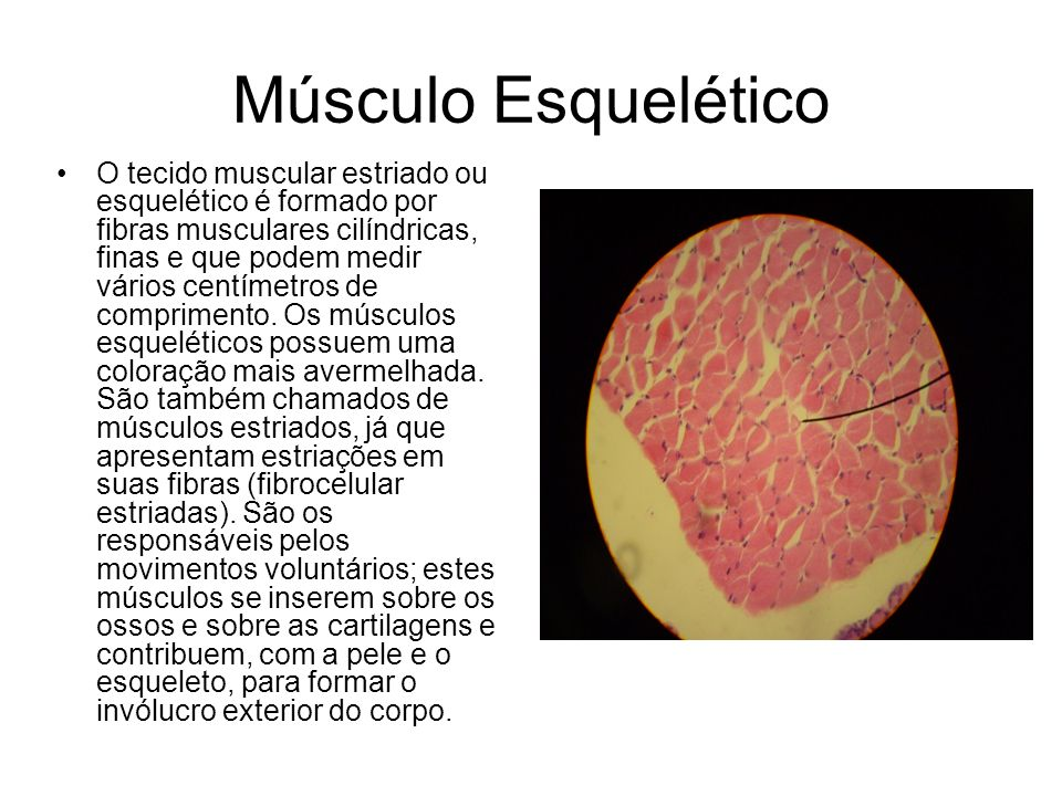 Músculo Esquelético O tecido muscular estriado ou esquelético é formado por fibras musculares cilíndricas, finas e que podem medir vários centímetros