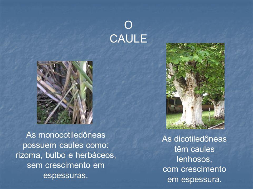 A FOLHA As monocotiledôneas possuem a bainha mais desenvolvida, e as nervuras das folhas são paralelas.