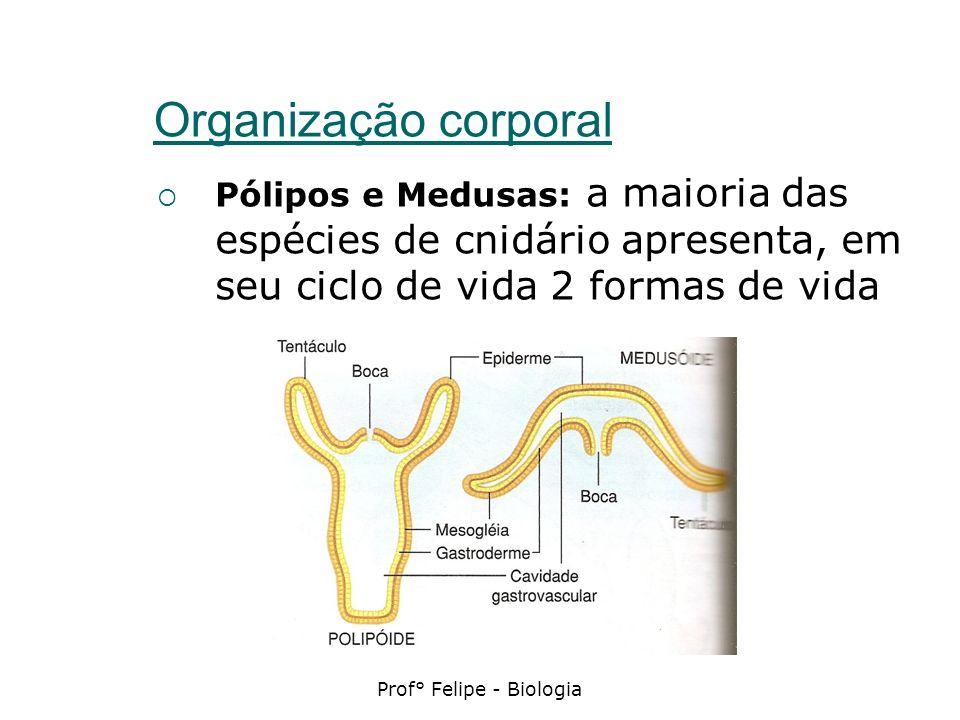 Prof° Felipe - Biologia Organização corporal Pólipos e Medusas: a maioria das espécies de cnidário apresenta, em seu ciclo de vida 2 formas de vida
