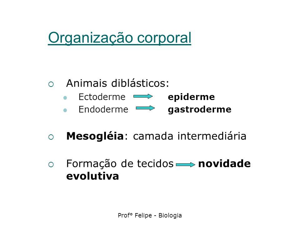 Prof° Felipe - Biologia Organização corporal Animais diblásticos: Ectoderme epiderme Endoderme gastroderme Mesogléia: camada intermediária Formação de