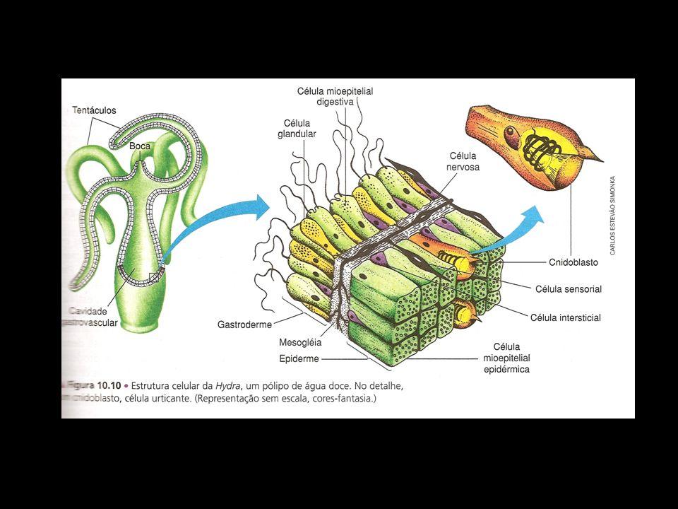 Organização corporal Cnidoblastos ou células urticantes: distribuídos por toda epiderme; Nematocisto: cápsula que contém líquido tóxico sob pressão
