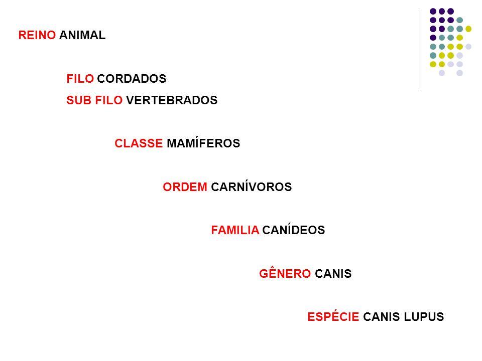 REINO ANIMAL FILO CORDADOS SUB FILO VERTEBRADOS CLASSE MAMÍFEROS ORDEM CARNÍVOROS FAMILIA CANÍDEOS GÊNERO CANIS ESPÉCIE CANIS LUPUS