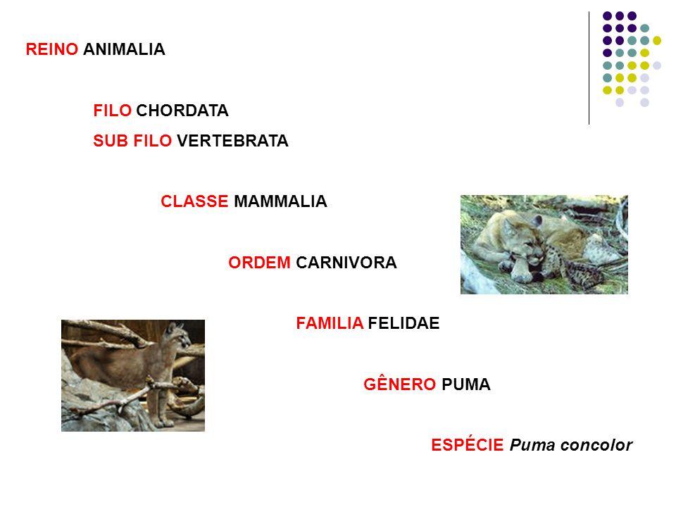 REINO ANIMALIA FILO CHORDATA SUB FILO VERTEBRATA CLASSE MAMMALIA ORDEM CARNIVORA FAMILIA FELIDAE GÊNERO PUMA ESPÉCIE Puma concolor