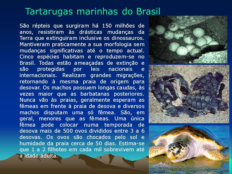 As tartarugas gigantes habitam os mares tropicais. Com comprimento entre 1,5 e 2 metros e peso entre 300 e 600 quilos, esses quelônios, que, como todo