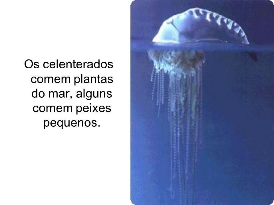 Os celenterados comem plantas do mar, alguns comem peixes pequenos.