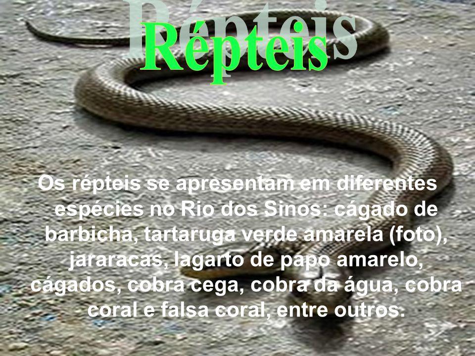Os répteis se apresentam em diferentes espécies no Rio dos Sinos: cágado de barbicha, tartaruga verde amarela (foto), jararacas, lagarto de papo amare