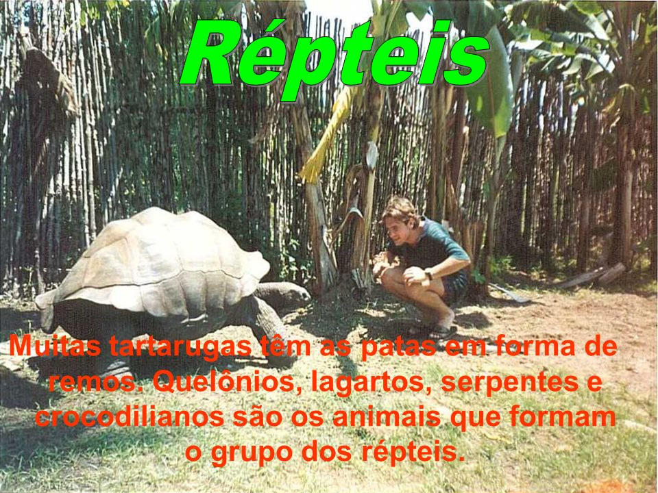Muitas tartarugas têm as patas em forma de remos. Quelônios, lagartos, serpentes e crocodilianos são os animais que formam o grupo dos répteis.