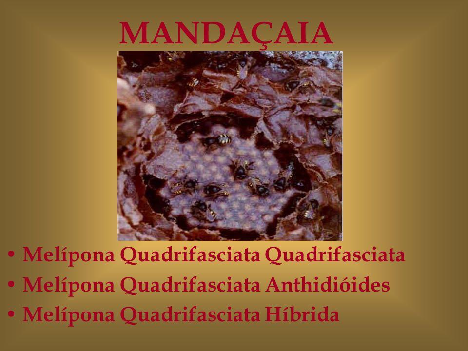 Melípona Quadrifasciata Quadrifasciata Melípona Quadrifasciata Anthidióides Melípona Quadrifasciata Híbrida MANDAÇAIA