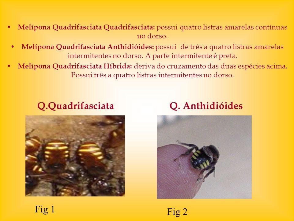 Melípona Quadrifasciata Quadrifasciata: possui quatro listras amarelas contínuas no dorso. Melípona Quadrifasciata Anthidióides: possui de três a quat