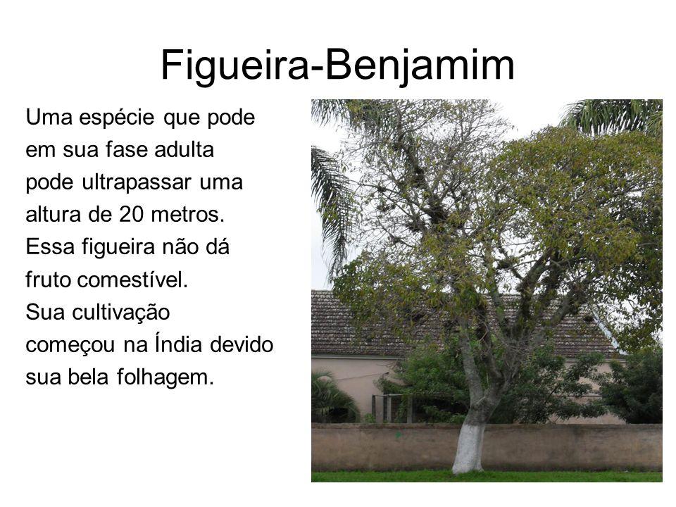 Figueira- Benjamim Uma espécie que pode em sua fase adulta pode ultrapassar uma altura de 20 metros. Essa figueira não dá fruto comestível. Sua cultiv