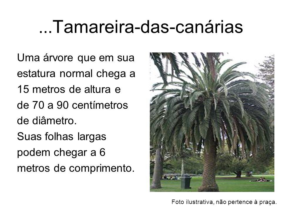 ... Tamareira-das-canárias Uma árvore que em sua estatura normal chega a 15 metros de altura e de 70 a 90 centímetros de diâmetro. Suas folhas largas