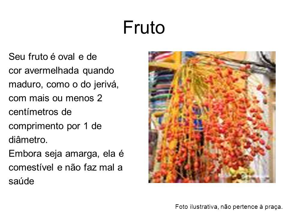 Fruto Seu fruto é oval e de cor avermelhada quando maduro, como o do jerivá, com mais ou menos 2 centímetros de comprimento por 1 de diâmetro. Embora