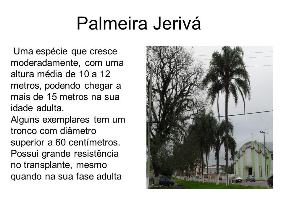 Palmeira Jerivá Uma espécie que cresce moderadamente, com uma altura média de 10 a 12 metros, podendo chegar a mais de 15 metros na sua idade adulta.