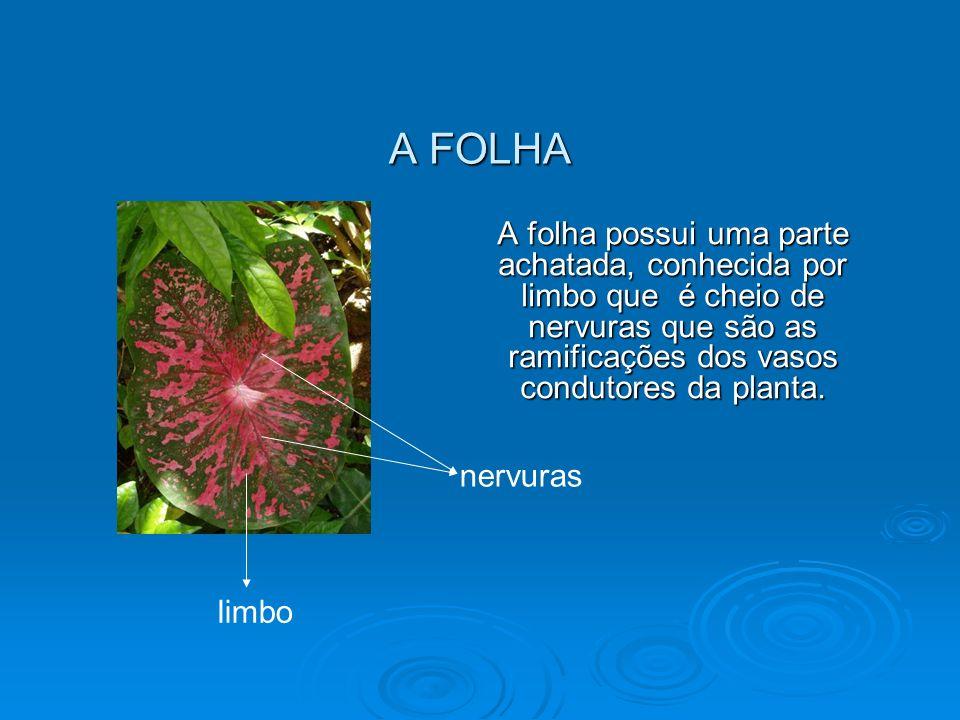 A FOLHA A folha possui uma parte achatada, conhecida por limbo que é cheio de nervuras que são as ramificações dos vasos condutores da planta.