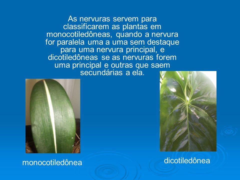 As nervuras servem para classificarem as plantas em monocotiledôneas, quando a nervura for paralela uma a uma sem destaque para uma nervura principal, e dicotiledôneas se as nervuras forem uma principal e outras que saem secundárias a ela.