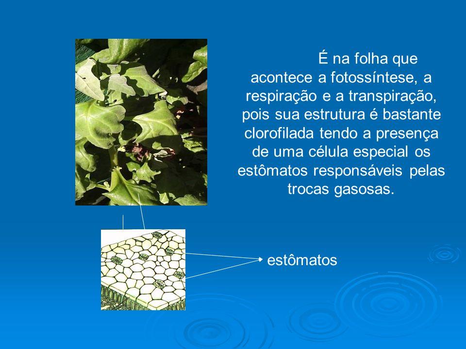 É na folha que acontece a fotossíntese, a respiração e a transpiração, pois sua estrutura é bastante clorofilada tendo a presença de uma célula especial os estômatos responsáveis pelas trocas gasosas.
