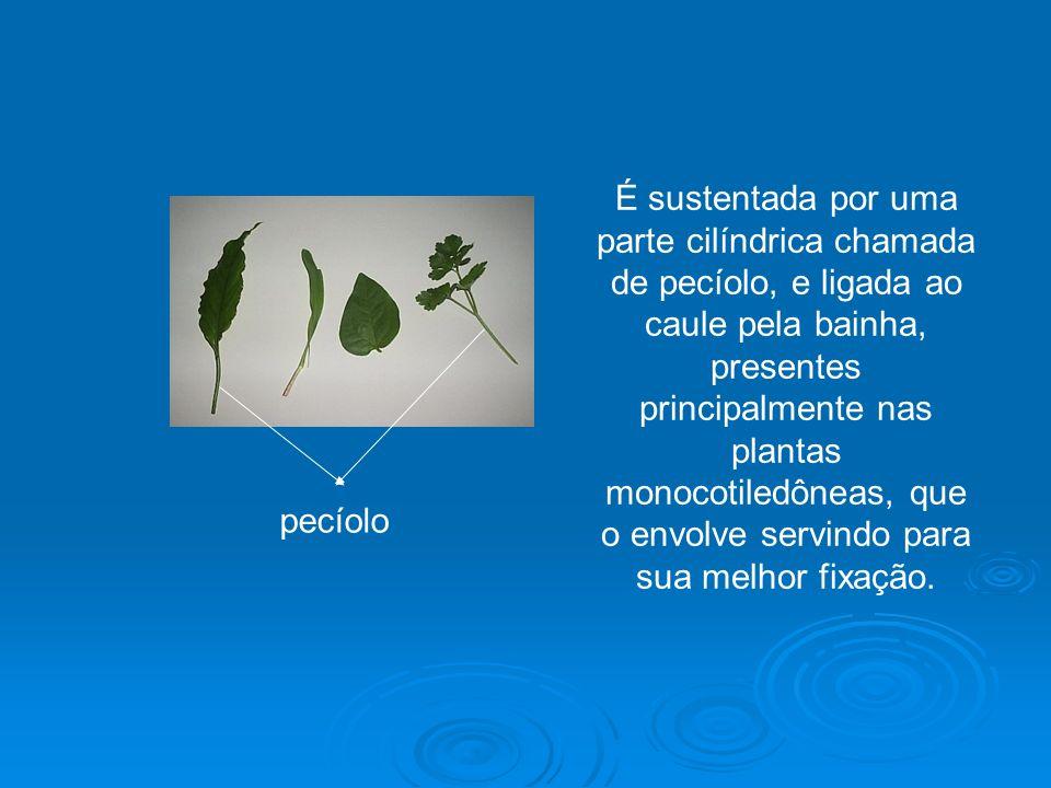 É sustentada por uma parte cilíndrica chamada de pecíolo, e ligada ao caule pela bainha, presentes principalmente nas plantas monocotiledôneas, que o envolve servindo para sua melhor fixação.