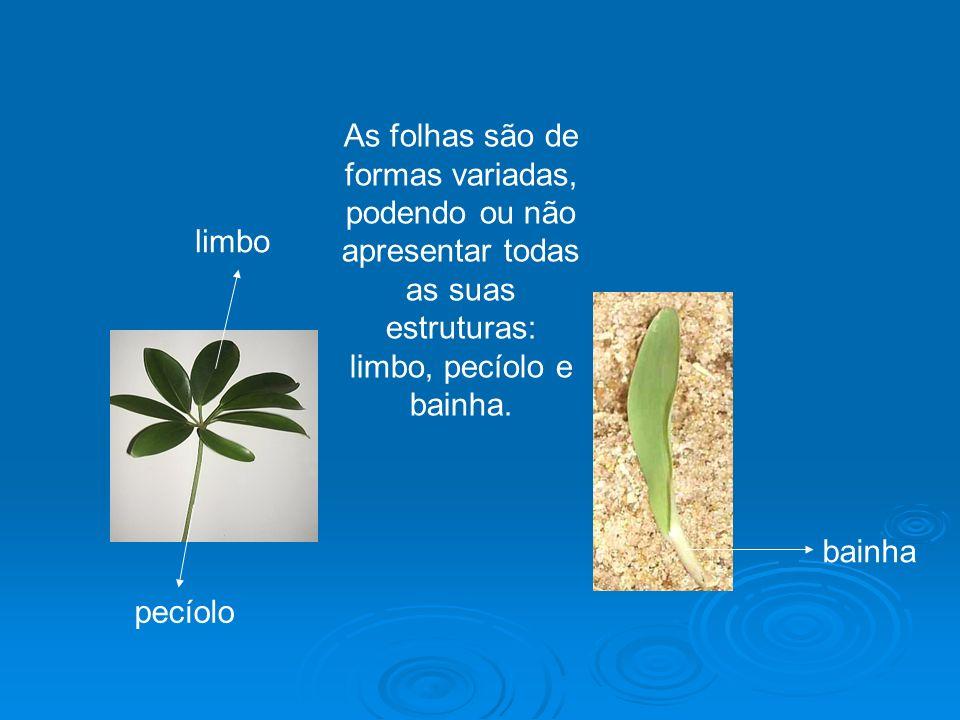 As folhas podem ser classificadas até mesmo pela divisão do limbo que pode ser simples, quando o limbo apresenta-se inteiro, e composto se o limbo apresenta-se subdividido.