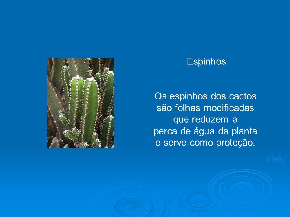 Espinhos Os espinhos dos cactos são folhas modificadas que reduzem a perca de água da planta e serve como proteção.