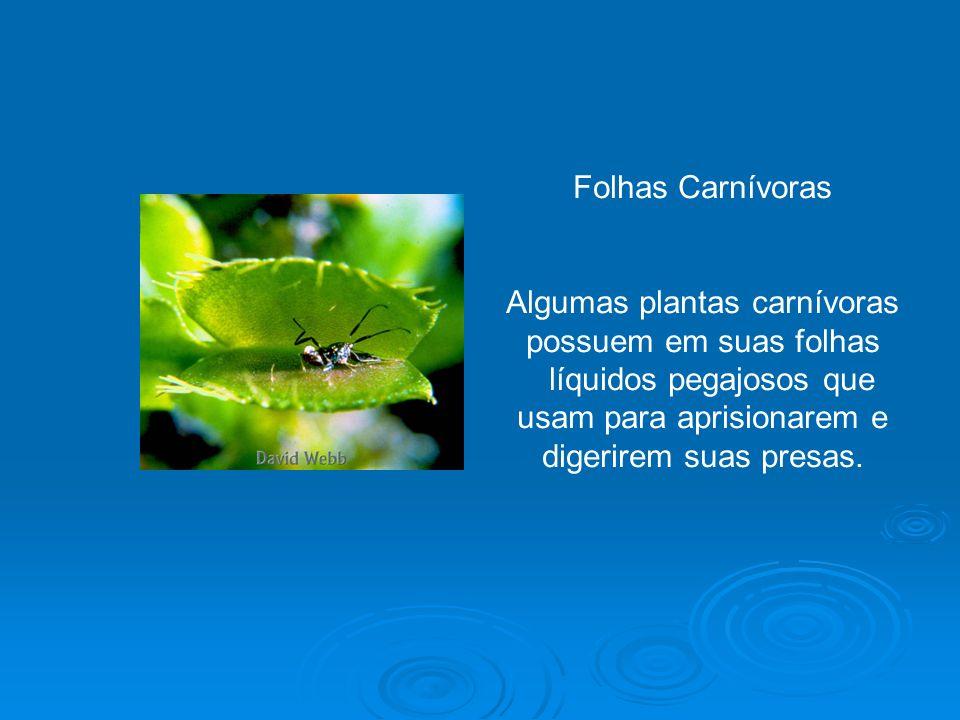 A folha é de suma importância no processo de renovação do oxigênio, através da fotossíntese.
