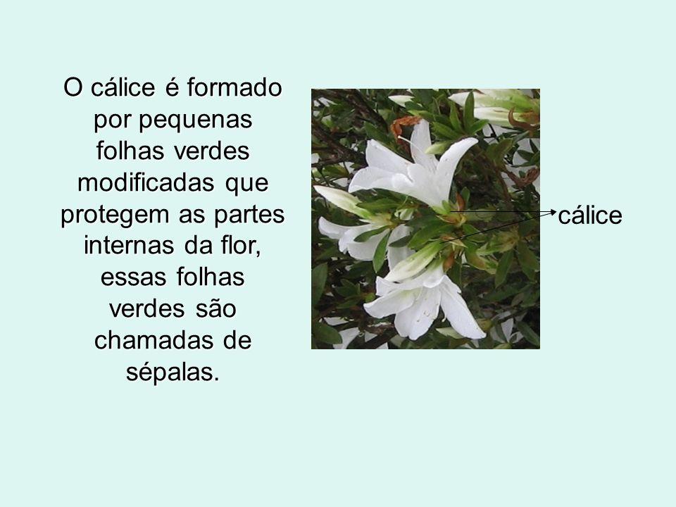 O cálice é formado por pequenas folhas verdes modificadas que protegem as partes internas da flor, essas folhas verdes são chamadas de sépalas. cálice