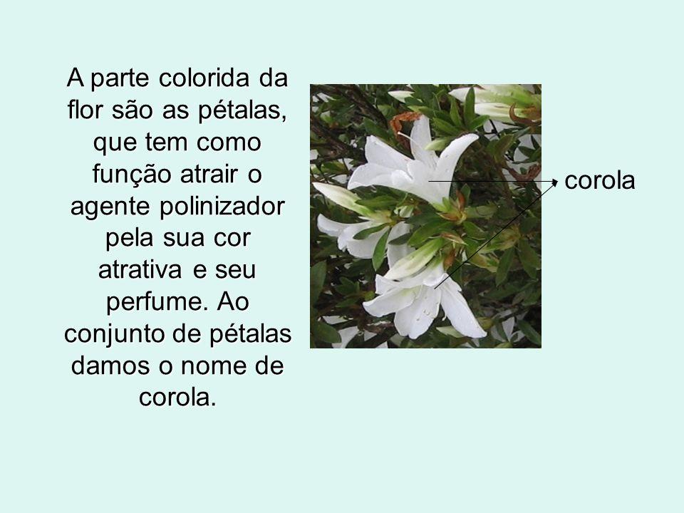 A parte colorida da flor são as pétalas, que tem como função atrair o agente polinizador pela sua cor atrativa e seu perfume. Ao conjunto de pétalas d