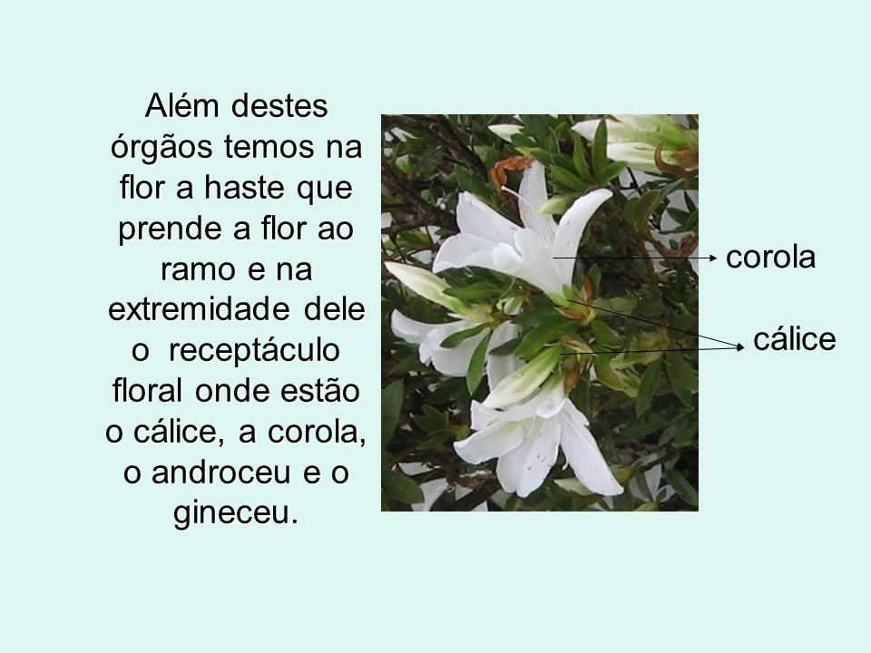 Além destes órgãos temos na flor a haste que prende a flor ao ramo e na extremidade dele o receptáculo floral onde estão o cálice, a corola, o androceu e o gineceu.