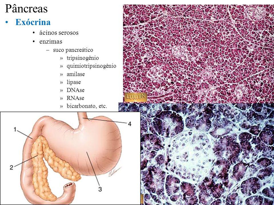Pâncreas Exócrina ácinos serosos enzimas –suco pancreático »tripsinogênio »quimiotripsinogênio »amilase »lipase »DNAse »RNAse »bicarbonato, etc. 14