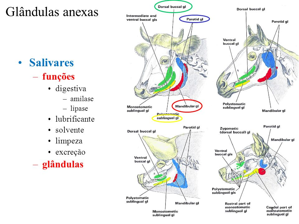 Glândulas anexas Salivares –funções digestiva –amilase –lipase lubrificante solvente limpeza excreção –glândulas 8