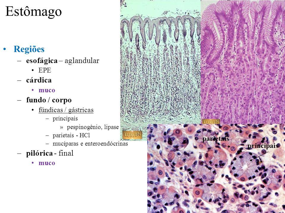 Estômago Regiões –esofágica – aglandular EPE –cárdica muco –fundo / corpo fúndicas / gástricas –principais »pespinogênio, lipase –parietais - HCl –muc