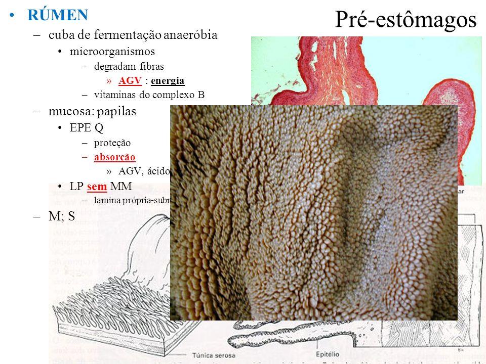 Pré-estômagos RÚMEN –cuba de fermentação anaeróbia microorganismos –degradam fibras »AGV : energia –vitaminas do complexo B –mucosa: papilas EPE Q –pr