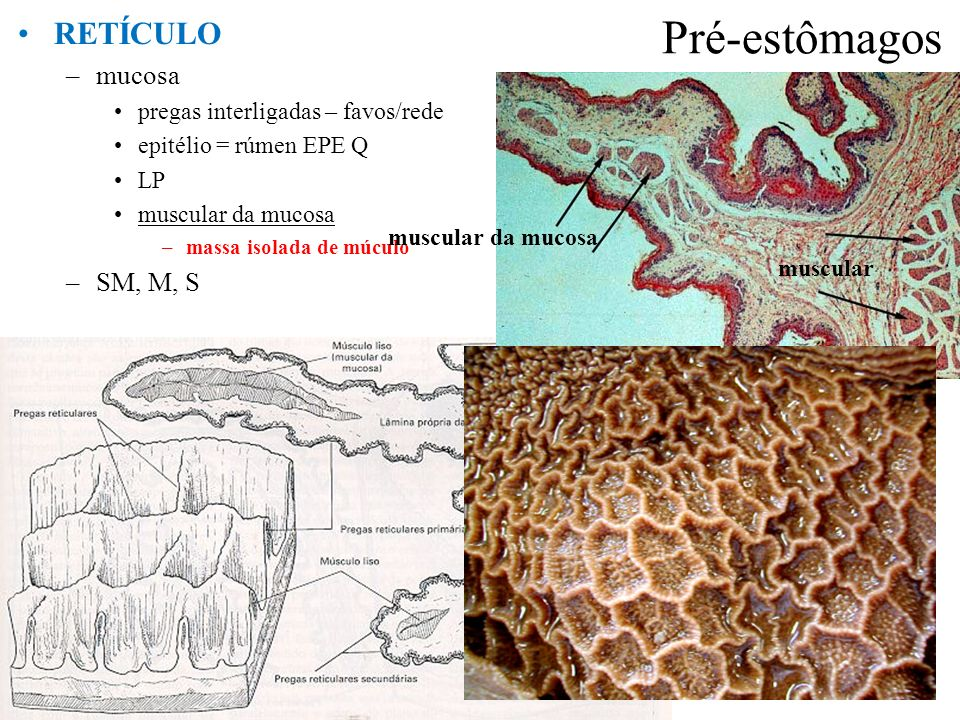 Pré-estômagos RETÍCULO –mucosa pregas interligadas – favos/rede epitélio = rúmen EPE Q LP muscular da mucosa –massa isolada de múculo –SM, M, S prega