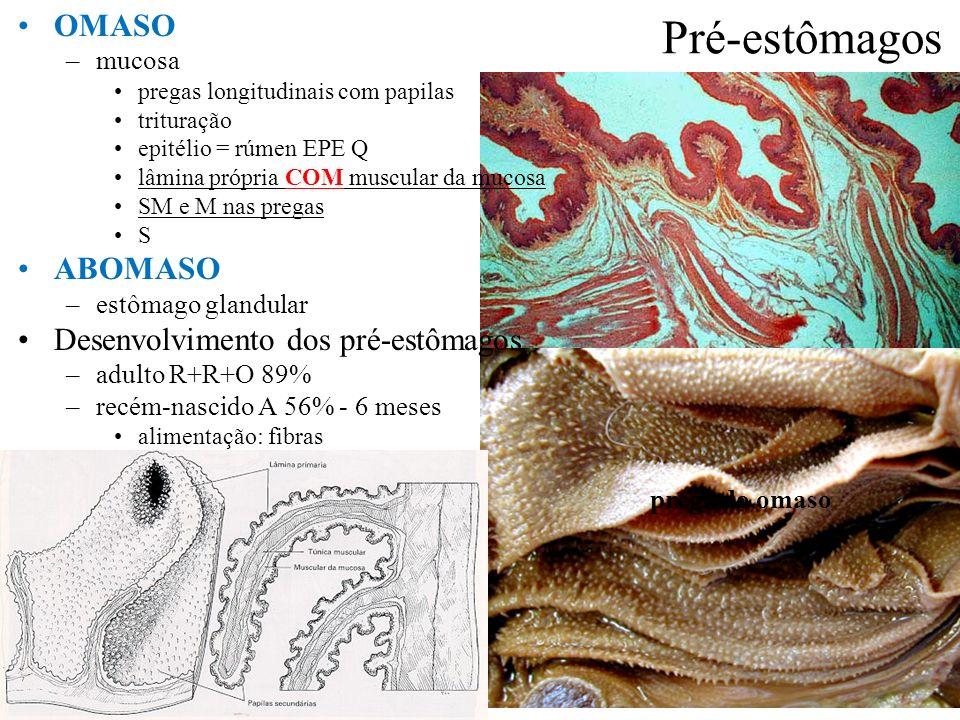 Pré-estômagos OMASO –mucosa pregas longitudinais com papilas trituração epitélio = rúmen EPE Q lâmina própria COM muscular da mucosa SM e M nas pregas