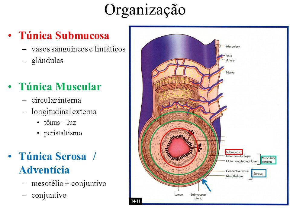 Túnica Submucosa –vasos sangüíneos e linfáticos –glândulas Túnica Muscular –circular interna –longitudinal externa tônus – luz peristaltismo Túnica Se