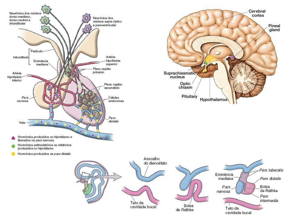 17 Pâncreas endócrino Estrutura –Ilhotas de Langerhans alfa –glucagon » glicemia beta –insulina » glicemia delta –somatostatina » GH » insulina » glucagon