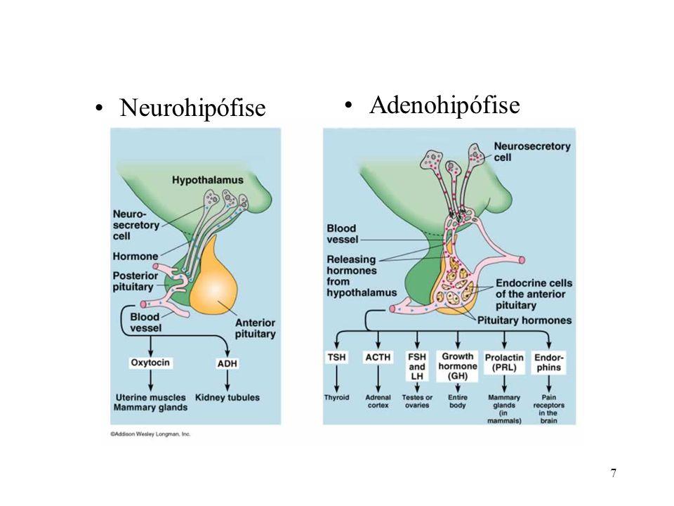 18 Pineal ou epífise Estrutura –Pinealócitos melatonina –liberação noturna »ritmo circadiano »estacionalidade Ovários e testículos –hormônios sexuais