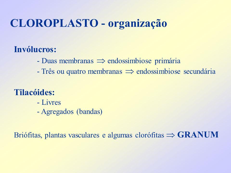 CLOROPLASTO - organização Invólucros: - Duas membranas endossimbiose primária - Três ou quatro membranas endossimbiose secundária Tilacóides: - Livres