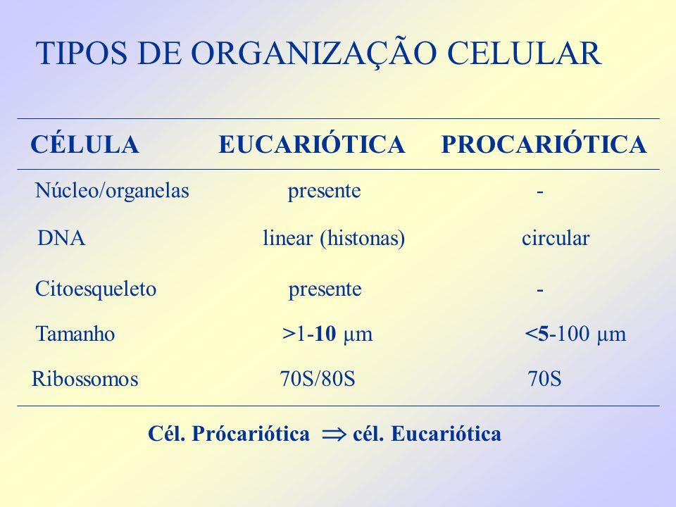 DNA linear (histonas) circular Citoesqueleto presente - Tamanho >1-10 µm <5-100 µm TIPOS DE ORGANIZAÇÃO CELULAR Núcleo/organelas presente - Cél. Próca