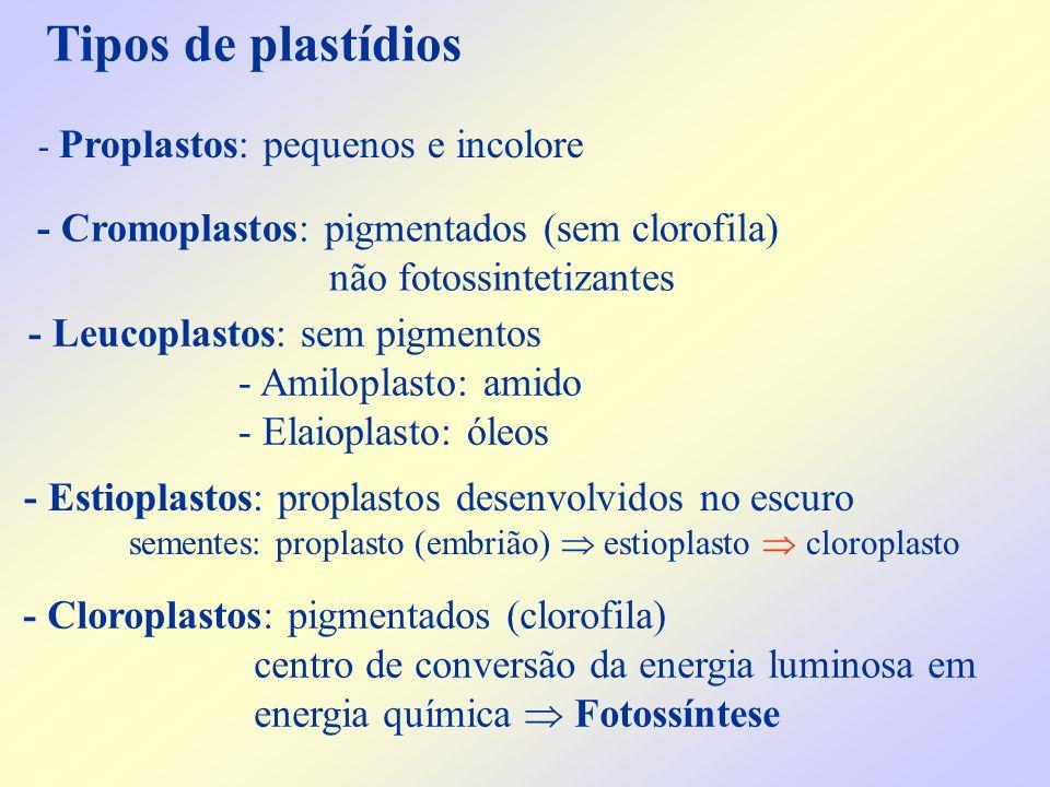Tipos de plastídios - Cloroplastos: pigmentados (clorofila) centro de conversão da energia luminosa em energia química Fotossíntese - Proplastos: pequ