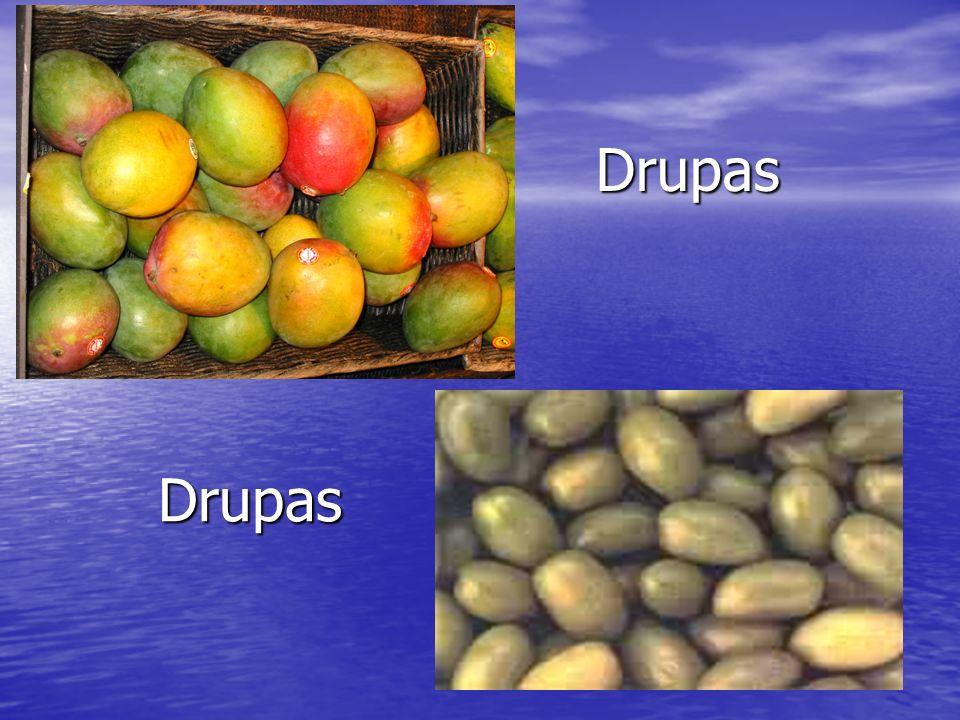 Frutos secos Os frutos secos podem ser deiscentes ou indeiscentes.